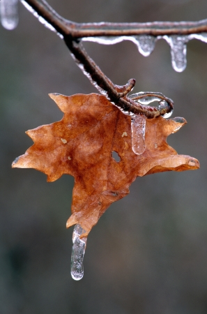 Maple Leaf with Icecicle