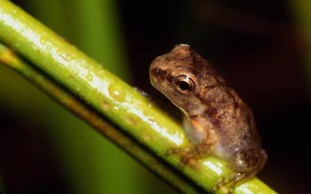 Tiny Tree Frog on Grass Stem