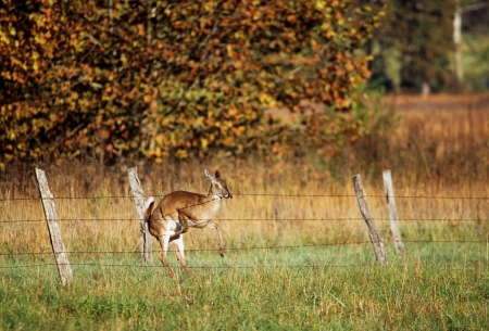white tail deer: White Tail Deer Crashing Into Fence