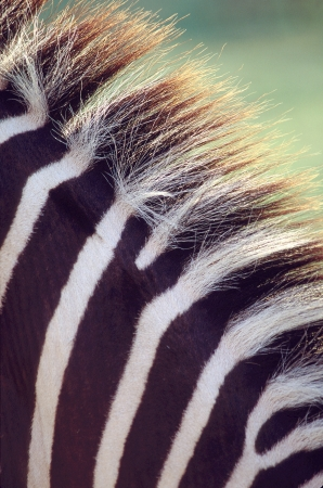 Zebra mane close-up