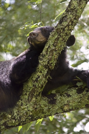 Black bear sleeping on branch