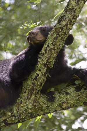 Black bear sleeping on branch Stock Photo - 16516355