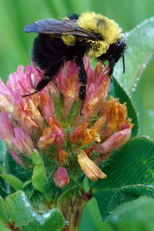 Bumblebee on Clover Flower Stock Photo - 16516377