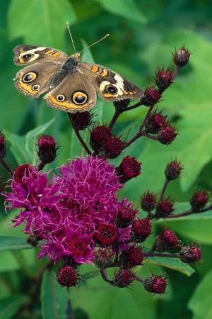 buckeye: Buckeye Butterfly on Ironweed