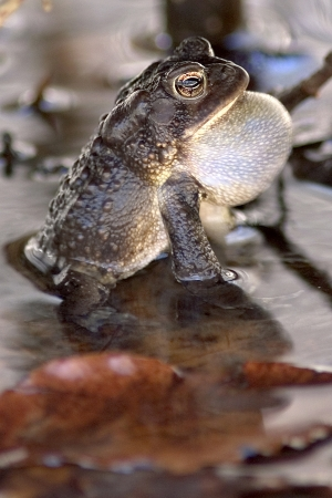 American Toad croaking