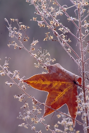 Maple leaf caught in weeds covered in frost Stock Photo - 16692604