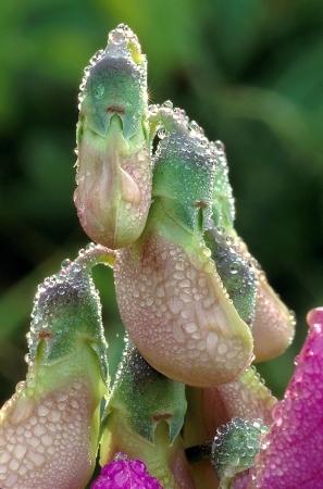 Sweet Pea Blossom Knoppen bedekt met dauw