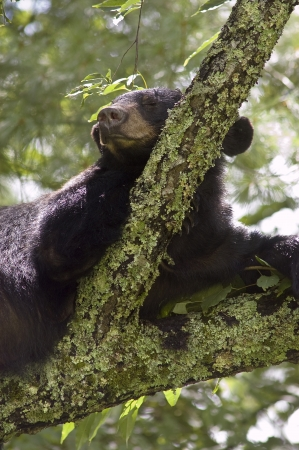 Black Bear reasting on tree branch Stock Photo - 16710879