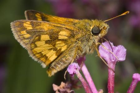 Yellow Skipper Butterfly on Purple Flower Stock Photo - 16710873
