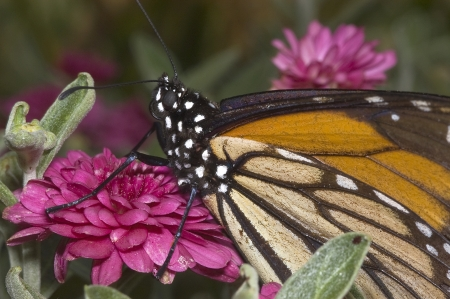 Monarch Butterfly on Pink FLower Stock Photo - 16710878