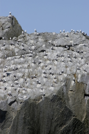 A large flock of gulls in Alaska roosting on a rock face photo
