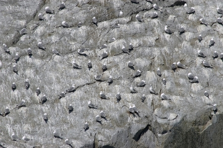 A rock face in Alaska, dotted with gulls photo