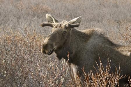 Een Noord-Amerikaanse elanden met kleine geweien in een veld Stockfoto