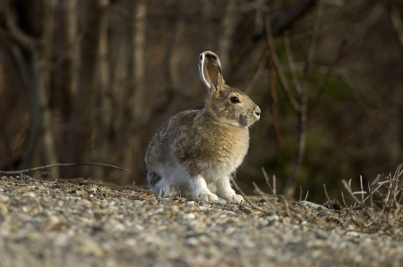 A portrait of a Snowshoe Hare in Summer color