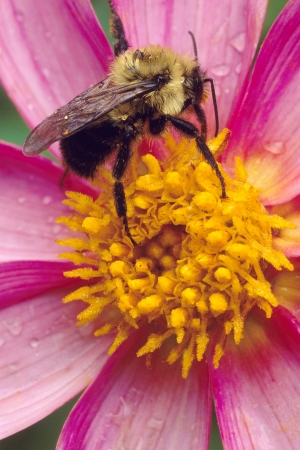 American Bumble Bee with dew resting on a Pink Flower
