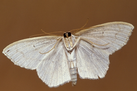 A small white moth shot from below showing underside