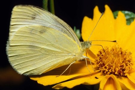 A small Cabbage Butterfly, or Small White, on a yellow flower feeding Фото со стока - 16879813