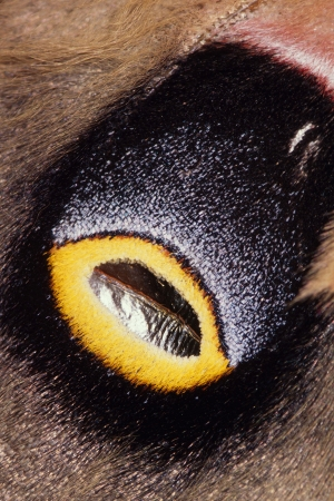 Detail shot of an eye spot on the wing of an Emperor Moth Stock Photo - 16879865