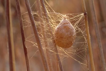 Een ei zak gevangen in een web met vorst