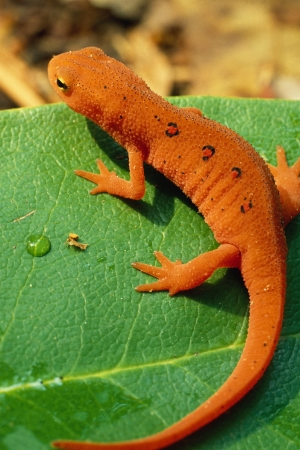 Red Spotted Newt, or Eastern Newt, on Green Leaf photo