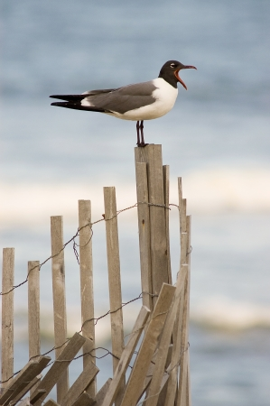 A seagull with it's mouth wide open perched on an erosion prevention fence at the beach Stock Photo - 16879812
