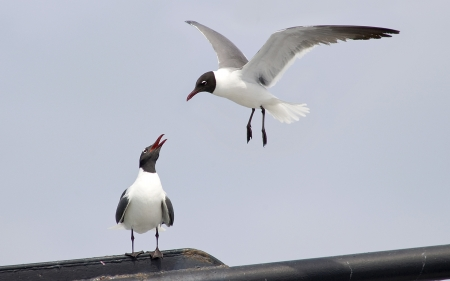 A pair of laughing gulls, one in flight and one perching, both looking at each other Stock Photo - 16879809