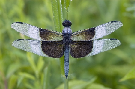 A blue dragonfly (Libellula luctuosa) or Widow Slimmer, Male, covered with morning dew Stock Photo - 16929997