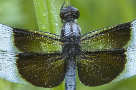 Close-Up shot of a blue dragonfly (Libellula luctuosa; Widow Slimmer Male) covered with dew Stock Photo - 16930018