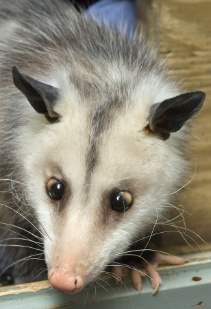 Close-up of an opossum's face with crossed eyes Stock Photo - 16929962