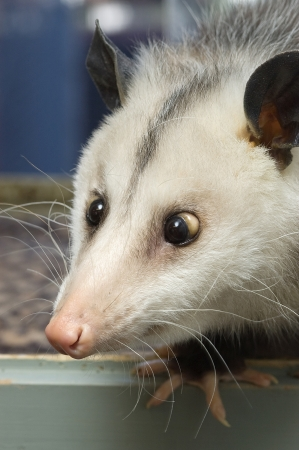 Portrait of a cross-eyed opossum Stock Photo - 16929972