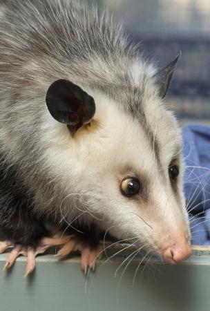 opossum: Portrait of a cross-eyed opossum Stock Photo