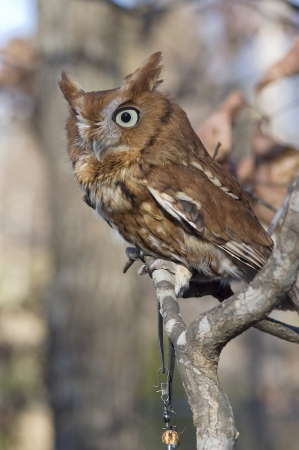 megascops: Portrait of an Eastern Screech Owl, Megascops asio Stock Photo