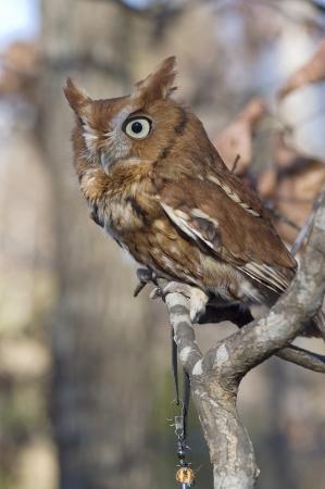 megascops: Portrait of an Eastern Screech Owl, Megascops asio Stock Photo