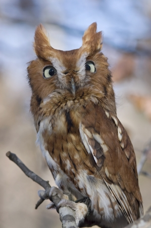 Portrait of an Eastern Screech Owl, Megascops asio Stock Photo - 16929938