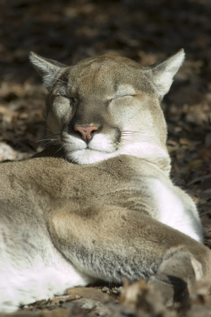 A cougar sleeping in a sunny spot Stock Photo - 16929956