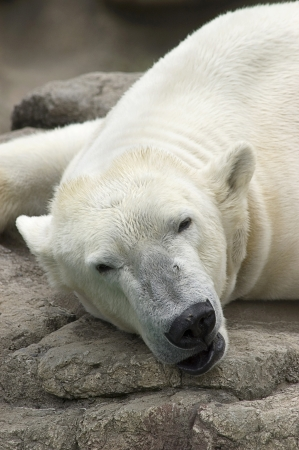 Polar Bear sleeeping on rocks photo