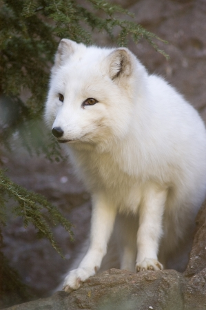 Portrait of an Arctic Fox, Vulpes lagopus, with white winter coat Stock Photo - 17008452