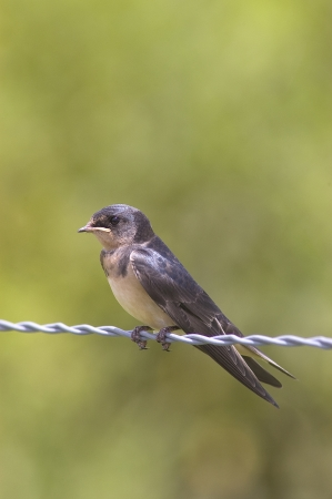A Barn Swallow chick, Hirundo rustica, perched on a barbed wire fence Stock Photo - 17008455