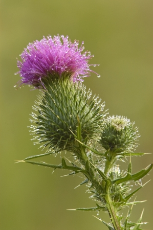 Close-up of a Bull Thistle, Cirsium vulgare, blossom with dew