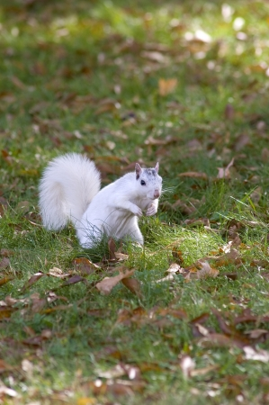 A white squirrel from Brevard, NC in a grassy field