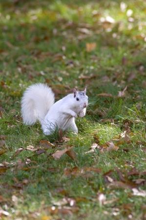Een witte eekhoorn uit Brevard, NC in een grasveld Stockfoto