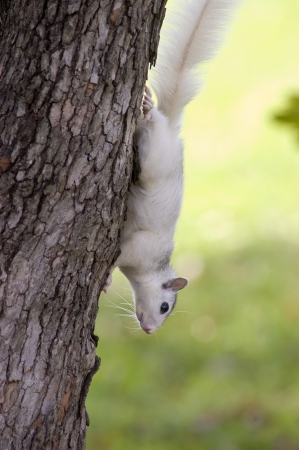 nc: A white squirrel from Brevard, NC on a tree