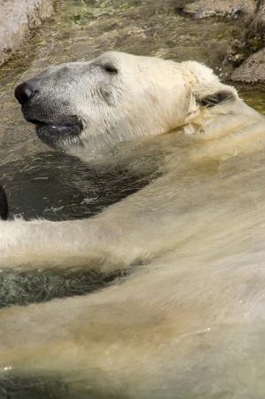 Een Ijsbeer ontspannen in het water