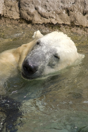 A Polar Bear portrait while playing in the water Stock Photo - 17034331