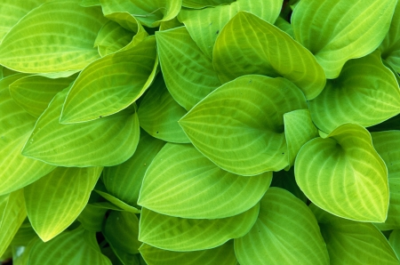 Light green hosta leaves filling the frame Stock Photo