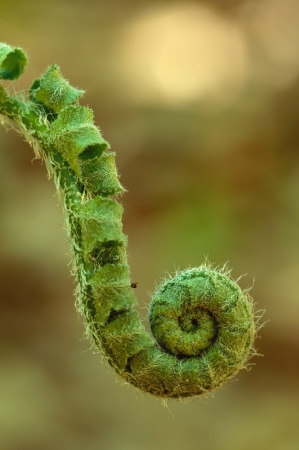 A single fern fiddlehead close-up Stock Photo