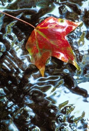 Rode Sweetgum Leaf op een rots in ondiep water als gevolg van lucht
