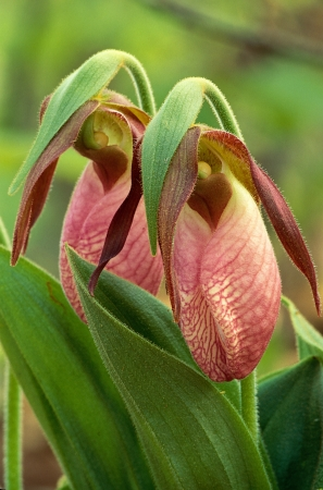 Pair of Pink Ladys Slippers, Cypripedium acaule, in full bloom Stock Photo