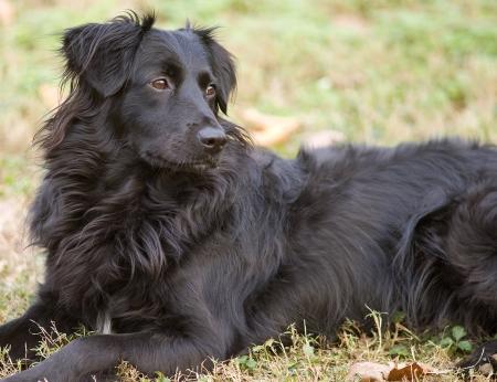 Portret van een jonge zwarte border collie in het gras