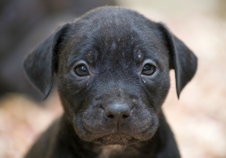 Full-frame shot of a pitbull pup face Stock Photo